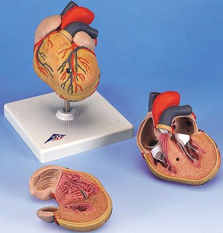 【送料無料】【無料健康相談 対象製品】3B社 心臓模型 心臓左心室肥大・2分解モデル (g04)   【smtb-s】 【fsp2124-6m】【02P06Aug16】
