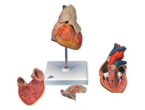 【送料無料】【無料健康相談 対象製品】3B社 心臓模型 心臓胸腺付・3分解モデル (g08-1)