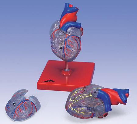 【送料無料】【無料健康相談付】3B社 心臓模型 心臓透明型・2分解モデル刺激伝導系付 (g08-3)