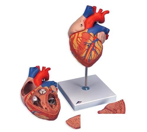 【送料無料】【無料健康相談 対象製品】3B社 心臓模型 心臓2倍大・4分解・ジャイアントモデル (g12)   【smtb-s】 【fsp2124-6m】【02P06Aug16】
