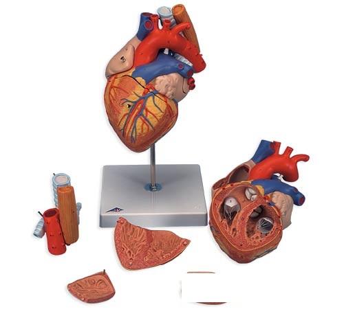 【送料無料】【無料健康相談付】3B社 心臓模型 心臓2倍大・5分解モデル食道・気管・大動脈付 (g13)