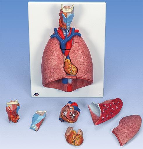 【送料無料】【無料健康相談 対象製品】3B社 心肺模型 肺実物大・7分解デラックスモデル (g15)   【smtb-s】 【fsp2124-6m】【02P06Aug16】