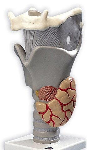 【送料無料】【無料健康相談 対象製品】3B社 喉頭模型 喉頭2.5倍大・デモ用モデル機能可動型 (g20)