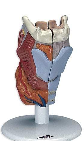 【送料無料】【感謝価格】3B社 喉頭模型 喉頭2分解モデル実物大 (g22)   【smtb-s】 【fsp2124-6m】【02P06Aug16】