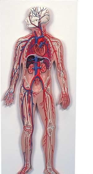 【送料無料】【無料健康相談 対象製品】3B社 血管系の模型 血管系、1/2倍大モデル (g30)
