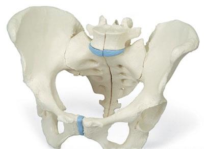 【送料無料】【無料健康相談 対象製品】3B社 生殖器・骨盤模型 女性骨盤3分解モデル (h20-1)