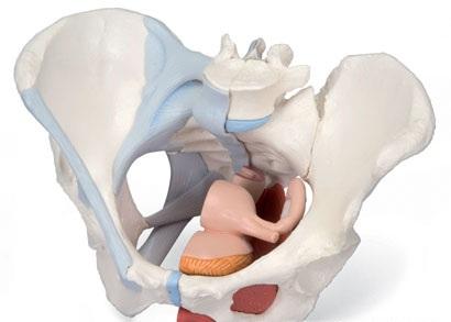 【送料無料】【無料健康相談 対象製品】3B社 生殖器・骨盤模型 女性骨盤内臓・骨盤底筋付4分解モデル (h20-3)   【smtb-s】 【fsp2124-6m】【02P06Aug16】