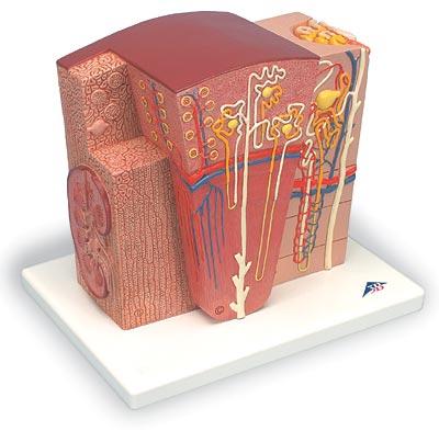 【送料無料】【無料健康相談 対象製品】3B社 人体組織拡大模型 腎臓の組織構造モデル (k13)