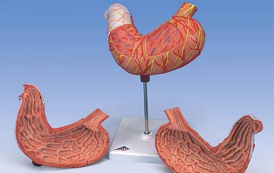 【送料無料】【無料健康相談付】3B社 消化器系模型 胃2分解モデル (k15)   【smtb-s】 【fsp2124-6m】【02P06Aug16】