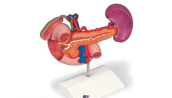 【送料無料】【無料健康相談 対象製品】3B社 膵臓模型 膵臓と周辺器官モデル (k22-2)   【smtb-s】 【fsp2124-6m】【02P06Aug16】