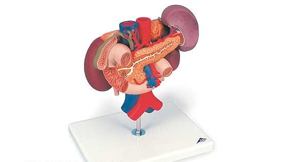 【送料無料】【無料健康相談付】3B社 腎臓・膵臓模型 腎臓・膵臓周辺器官モデル (k22-3)   【smtb-s】 【fsp2124-6m】【02P06Aug16】