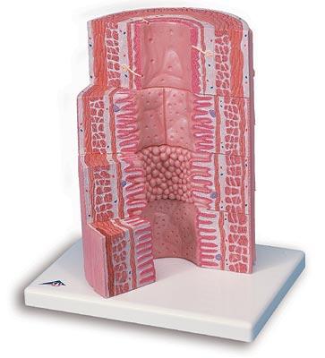 【送料無料】【無料健康相談 対象製品】3B社 人体組織拡大模型 消化管の組織構造モデル (k23)