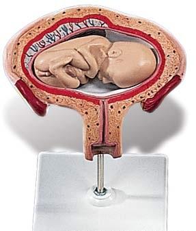 【送料無料】【無料健康相談 対象製品】3B社 妊娠・胎児模型 妊娠4ヶ月の子宮モデル (l10-4)   【smtb-s】 【fsp2124-6m】【02P06Aug16】