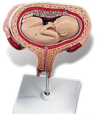 【送料無料】【無料健康相談 対象製品】3B社 妊娠・胎児模型 妊娠5ヶ月の子宮モデル(横位) (l10-6)