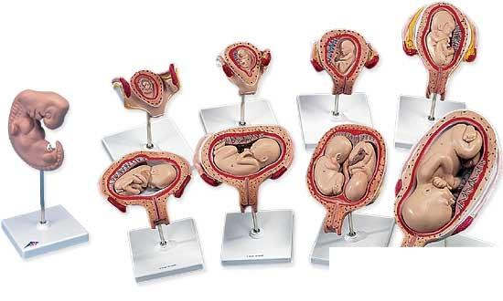【送料無料】【無料健康相談 対象製品】3B社 妊娠・胎児模型 妊娠モデルデラックスシリーズ (l11)