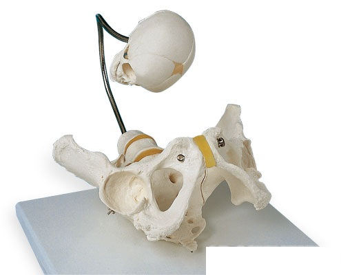 【送料無料】【無料健康相談 対象製品】3B社 生殖器・骨盤模型 分娩デモンストレーション用骨盤モデル (l30)
