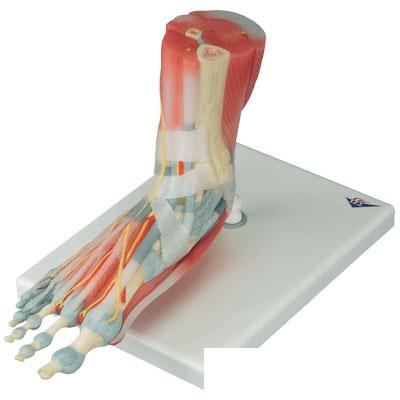【送料無料】【無料健康相談付】3B社 足構造模型 足関節筋・靭帯付 6分解モデル(M34-1)【smtb-s】 【fsp2124-6m】 【02P06Aug16】