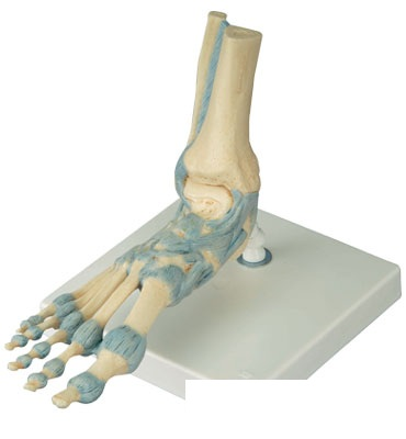 【送料無料】【無料健康相談付】3B社 足構造模型  足関節靭帯付モデル(M34)
