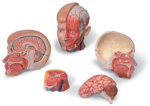 【送料無料】【無料健康相談 対象製品】3B社 小型人体解剖模型 M.A.頭部モデル (mac07)