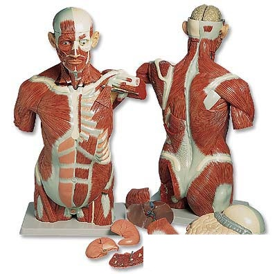 Shop de Clinic | Rakuten Global Market: 3 B\'s torso Anatomy model ...