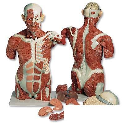 【送料無料】【無料健康相談 対象製品】3B社 トルソー解剖模型 男性筋肉トルソー27分解モデル (va16)