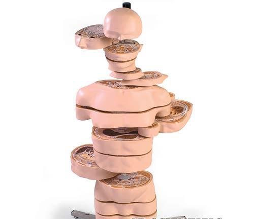【送料無料】【無料健康相談 対象製品】3B社 水平断面人体解剖模型 ディスクトルソー15横断モデル (va20)