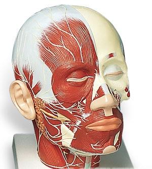 【送料無料】【無料健康相談 対象製品】3B社 頭部模型 頭・頚部の筋肉モデル・神経付 (vb129)