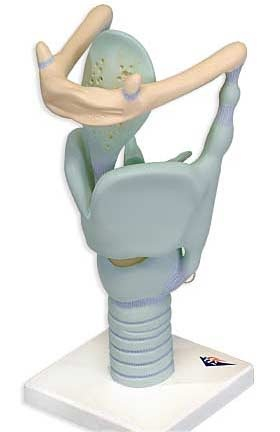 【送料無料】【無料健康相談 対象製品】3B社 喉頭模型 喉頭3倍大ジャイアントモデル (vc219)   【smtb-s】 【fsp2124-6m】【02P06Aug16】