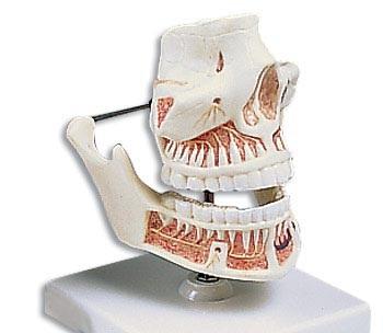 【送料無料】【無料健康相談 対象製品】3B社 歯・口腔模型 成人歯列モデル (ve281)