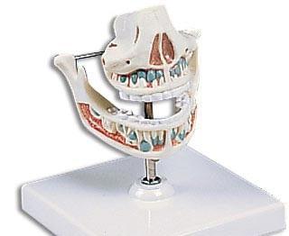 【送料無料】【無料健康相談付】3B社 歯・口腔模型 乳歯列モデル (ve282)   【smtb-s】 【fsp2124-6m】【02P06Aug16】