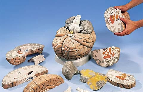 【送料無料】【無料健康相談 対象製品】3B社 脳模型 脳2.5倍大14分解断面観察モデル (vh409)