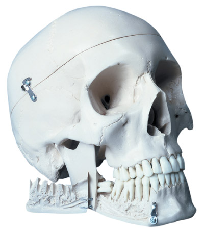 【送料無料】【無料健康相談 対象製品】3B社 頭蓋骨模型 頭蓋抜歯型4分解モデル (w10532)