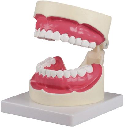 【エルラージーマー社】歯磨き(口腔ケア)指導模型1.5倍大 D217