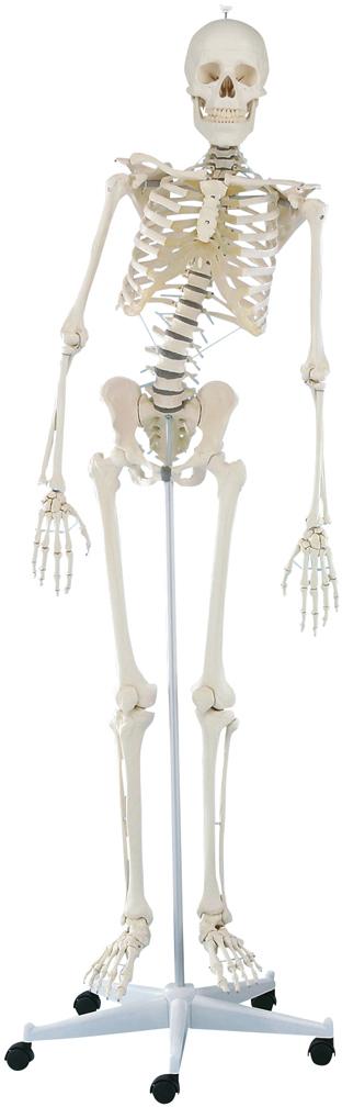 【エルラージーマー社】脊椎可動式骨格モデル 3014