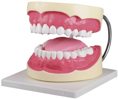 【エルラージーマー社】歯磨き(口腔ケア)指導模型3倍大   D216
