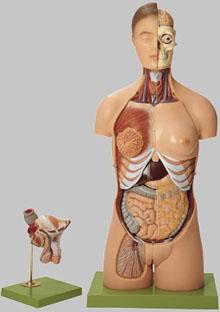 【送料無料】【無料健康相談 対象製品】ソムソ社 人体解剖模型(両性) as4