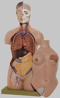 【送料無料】【無料健康相談 対象製品】ソムソ社 女性の人体解剖模型 as40