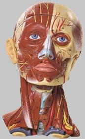 新作送料無料 送料無料 5年保証付 正規代理店 無料健康相談 筋肉と血管付の頭部模型 対象製品 ソムソ社 2020A/W新作送料無料 bs18