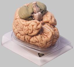 【送料無料】【無料健康相談 対象製品】ソムソ社 脳模型 bs20