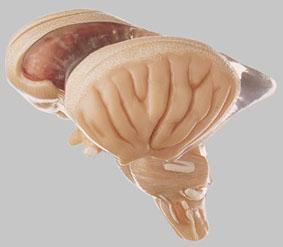 【送料無料】【無料健康相談 対象製品】ソムソ社 8分解脳幹模型 bs25/2 【smtb-s】 【fsp2124-6m】【02P06Aug16】