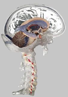 【送料無料】【無料健康相談 対象製品】ソムソ社 透明な15分解脳模型 bs25t