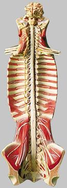 【送料無料】【無料健康相談 対象製品】ソムソ社 脊髄管の中の脊髄模型 bs31