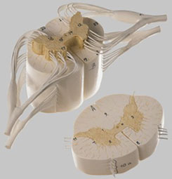 【送料無料】【無料健康相談 対象製品】ソムソ社 脊髄と脊髄神経模型 bs32/37