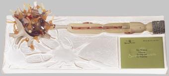 【送料無料】【無料健康相談 対象製品】ソムソ社 ニューロン模型 bs35