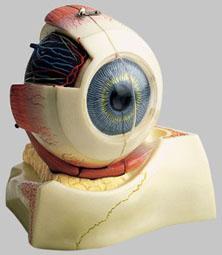 【送料無料】【無料健康相談 対象製品】ソムソ社 眼球模型 cs10