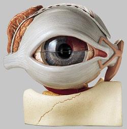 【送料無料】【無料健康相談 対象製品】ソムソ社 眼球模型 cs16 【smtb-s】 【fsp2124-6m】【02P06Aug16】