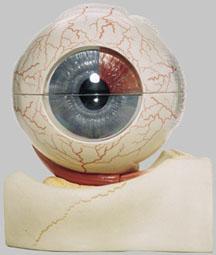 【送料無料】【無料健康相談 対象製品】ソムソ社 眼球模型 cs1/1