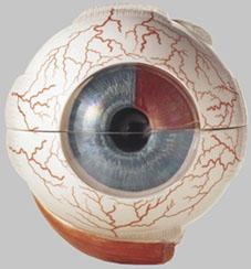 【送料無料】【無料健康相談 対象製品】ソムソ社 眼球模型 cs4 【smtb-s】 【fsp2124-6m】【02P06Aug16】
