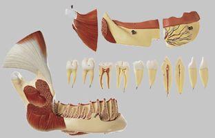 【送料無料】【無料健康相談 対象製品】ソムソ社 筋肉付右下顎模型 es21