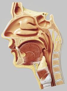 【送料無料】【無料健康相談 対象製品】ソムソ社 鼻腔、口腔と咽喉の正中断面模型 fs4 fs4, 波田町:bf0b34bc --- sunward.msk.ru